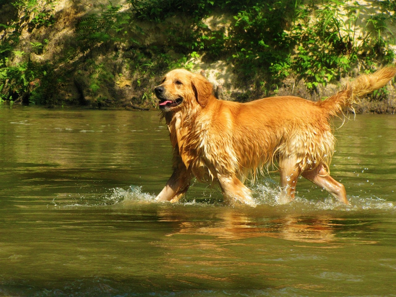golden retriever, pet, dog