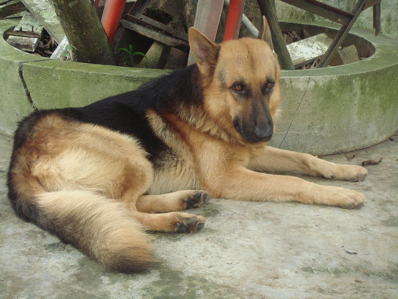 dog, shepherd, german